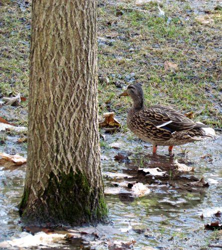 7 Bois de Coulonge_Oiseau_Québec_02-05-2015 - 35