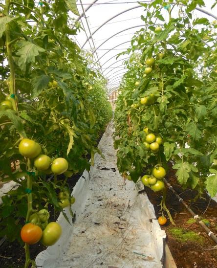 08 T 5 Ferme Le Silo Serre tomates 27-06-2015 - 4